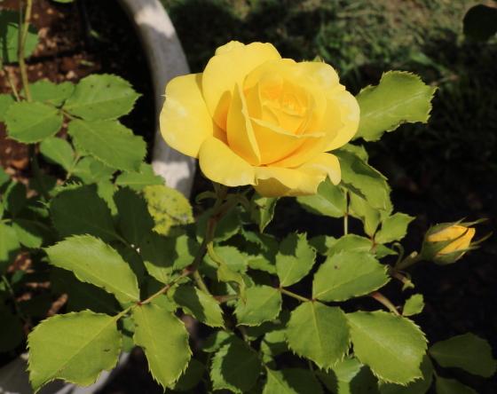 アトール '99は丸弁高芯咲きです