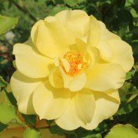 アトール '99は黄色のつるバラです