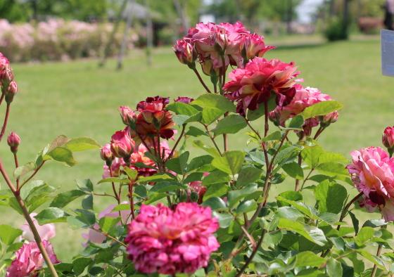 ベルデスピヌーズはしき咲きです
