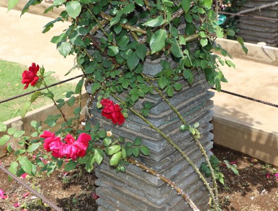 つるクリストファーストーンは赤色のつるバラ