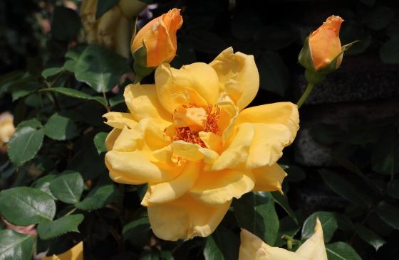 つるミセスPSデュポンは黄色いバラ