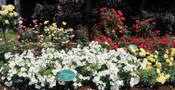 生田緑地ばら苑 春の風景
