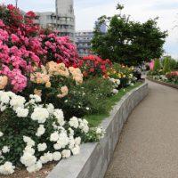 一般の生活道路で栽培されているバラ