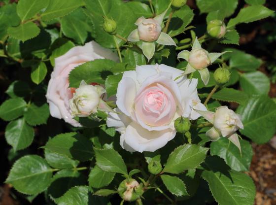 いわての春は淡いピンク色のバラ