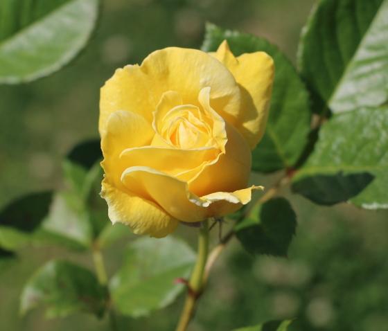 カールプロベルガーはロゼット咲きになる