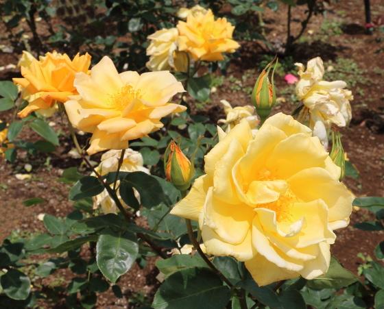 金閣は四季咲き性です