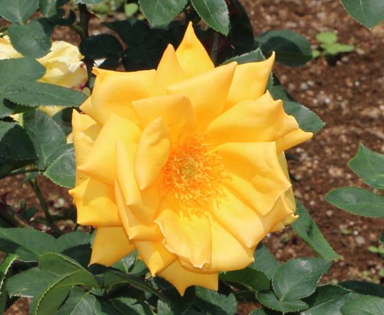 金閣は鮮黄色のバラ