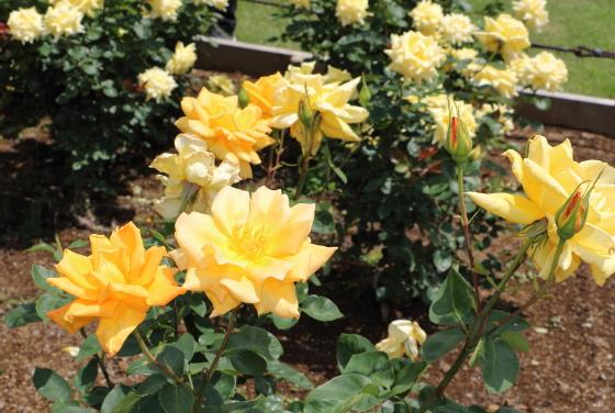 金閣は花径が約12cm位です