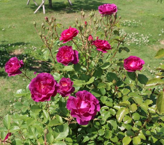 マジェンタスカイは四季咲きです