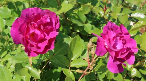 マジェンタスカイは丸弁半八重咲き
