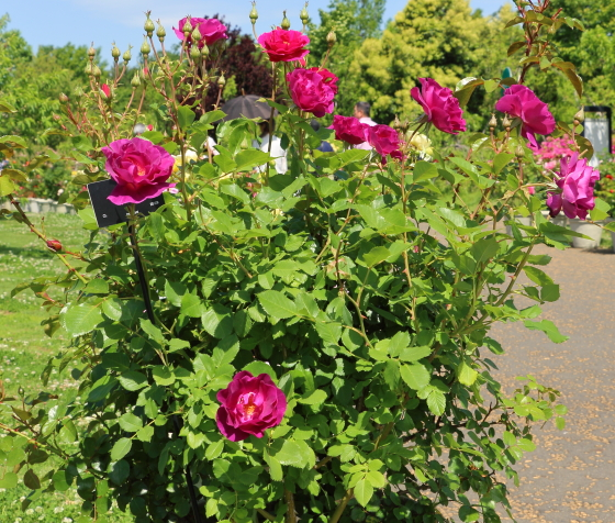 マジェンタスカイはマゼンタピンク色のバラ