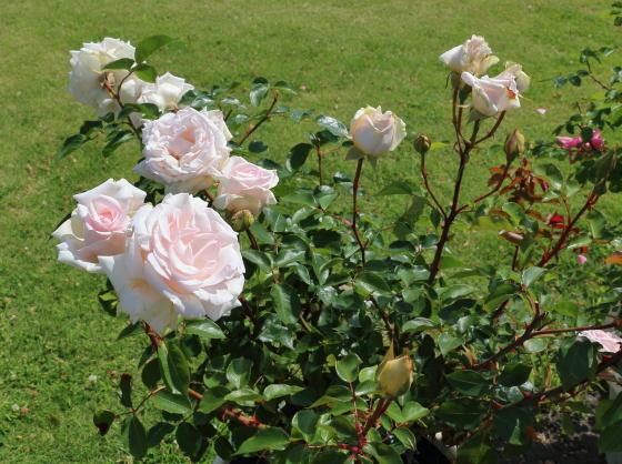 ミ・セレッソは四季咲きです