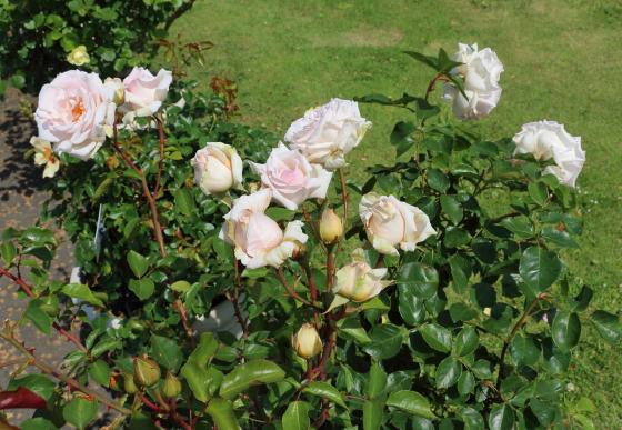 ミ・セレッソは淡いピンク色のバラ
