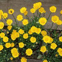 ムルチコーレは黄色い花
