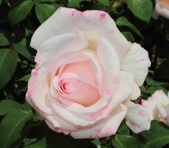 ローザベルモントは淡いピンク色の花色