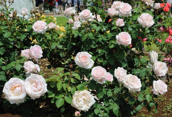 ローザベルモントは中輪サイズの花形