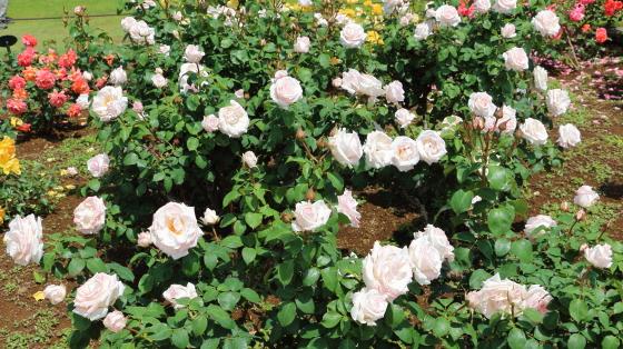 ローザベルモントは四季咲き