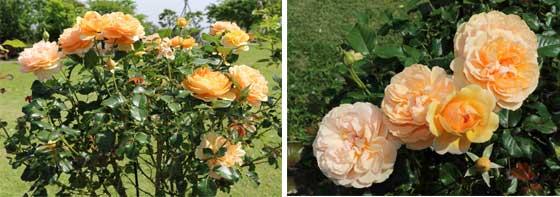 アンジェリカは黄色のバラ