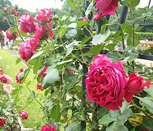 ルージュ ピエール ドゥ ロンサールはつるバラ