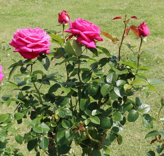 サントゥールロワイヤルはローズ色のバラ