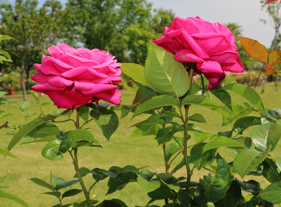 サントゥールロワイヤルはロゼット咲き