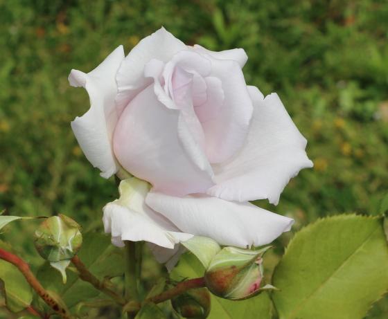 志野は淡い藤色のバラです