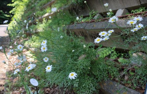 除虫菊の白色の花