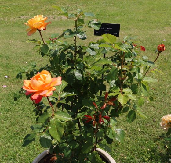 シュペールバルクは半剣弁高芯咲きです