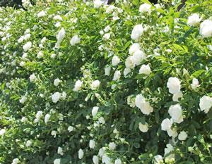つるサマースノーは白色のバラ