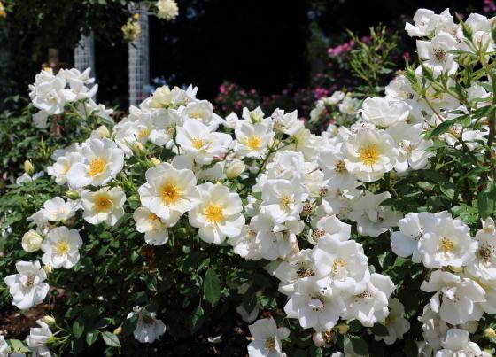 ティアドロップは四季咲き性です