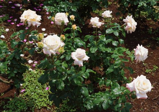 タイタニックは大輪サイズのバラ