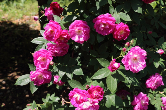 アマディスは一季咲きです