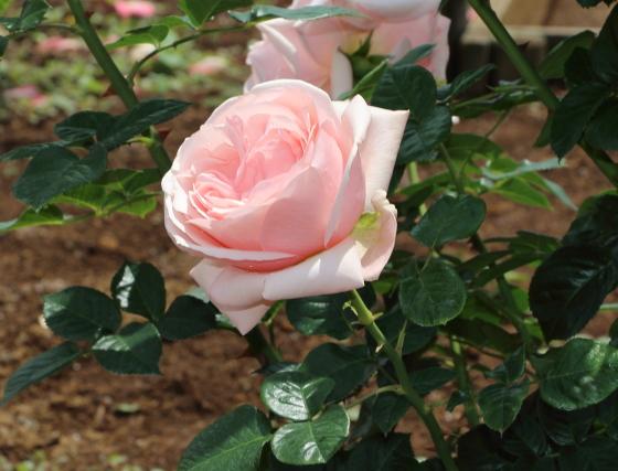 アフロディーテは四季咲き性です