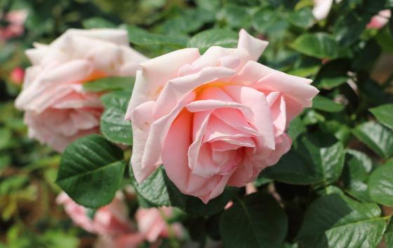 アフロティーテは大輪サイズのバラ