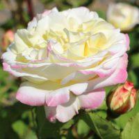 オロールドゥジャックマリーは白色のバラ