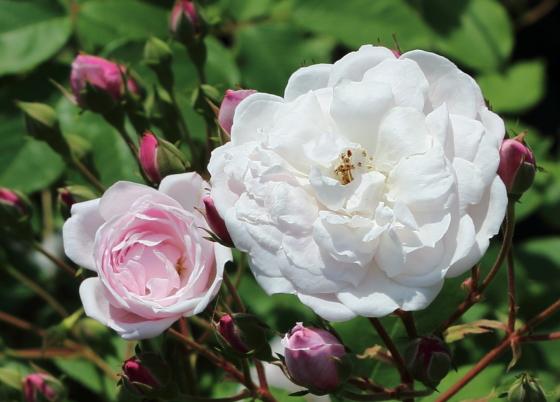 ブラッシュノワゼットは丸弁咲き