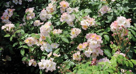 ブラッシュノワゼットは四季咲きです