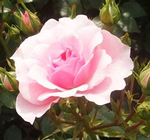 ボニカ'82は殿堂入りのバラ
