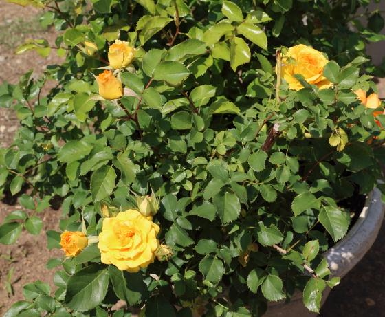 ユリイカは中輪サイズのバラ