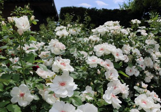 花つきがとてもよいバラ