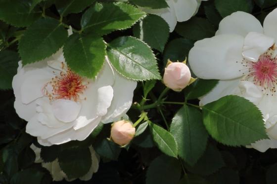 ジャクリーヌデュプレは白色のバラ