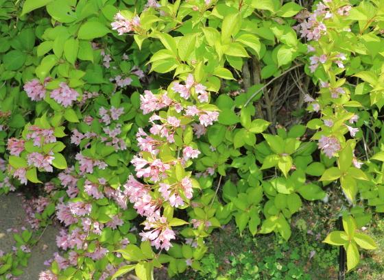 タニウツギはスイカズラ科の落葉樹