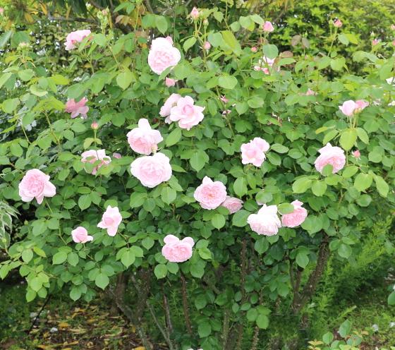 ピンク色のロゼット咲き