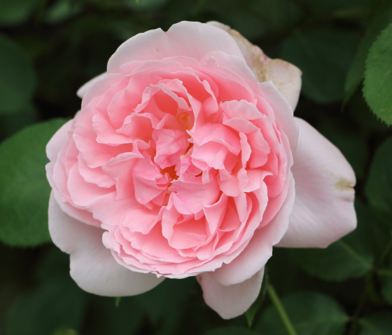 キャスリンモーリーはシュラブ系統のバラ
