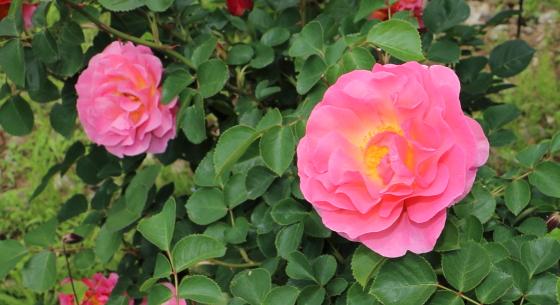 リリアンオースチンは中輪サイズの花径