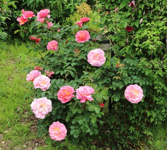 リリアンオースチンはロゼット咲きです