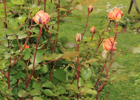 マドモアゼルマイコは四季咲きです