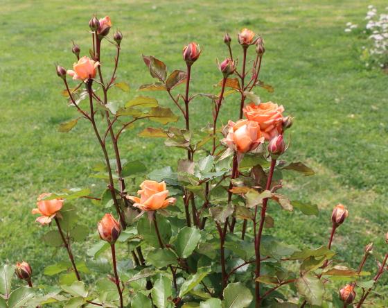マドモアゼルマイコはオレンジ色のバラ
