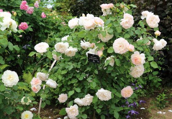 メアリーマグダレンは四季咲き性です