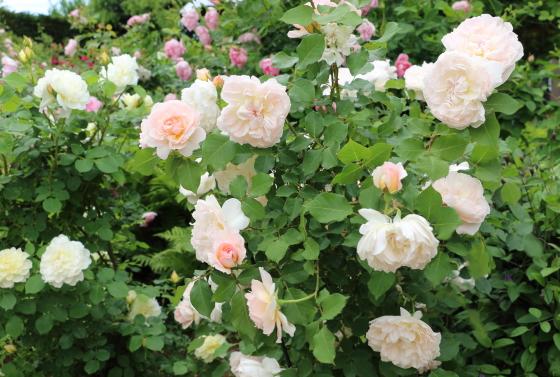 メアリーマグダレンは大輪サイズのバラ